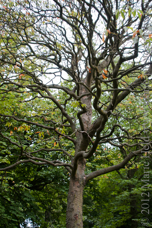 Gnarly tree in the Royal Botanic Garden in Edinburgh.