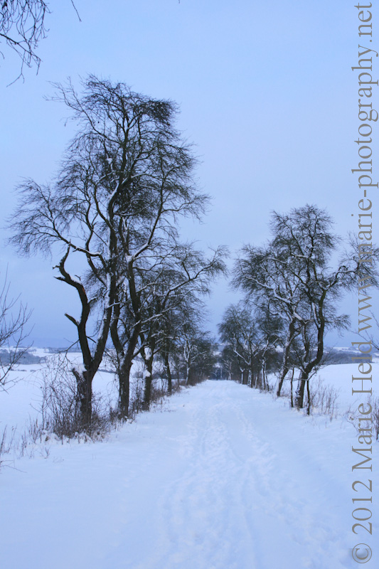 Snowy field path lined by cherry trees near Steigerthal.