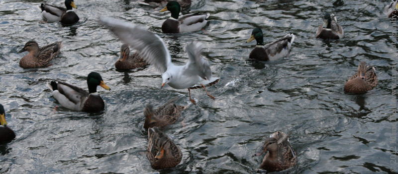 Ducks and a seagull fighting for bread crumbs.